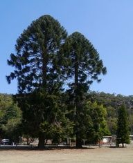 The National Register Of Big Trees is an integrated list of Australian native [indigenous] trees, and naturalised [exotics/alien] trees. Australian Flowers, Australian Plants, Giant Tree, Big Tree, Native Plants, Painting Inspiration, Garden Plants, Planting Flowers, Nativity