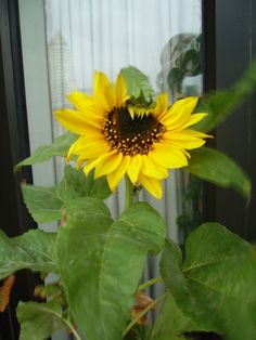 Sunflowers  look great in boxes or clay pots, and will make any patio feel alive and summery.