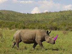 Pink Poison, the Surprising New Trend That's Saving Rhinos