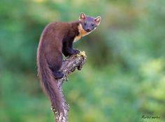 https://flic.kr/p/ovgdcR | Pine Marten, thanks all for the kind comments, I'll try to reciprocate ASAP :-) | Martes martes ƒ/3.5, 300.0 mm, 1/320 , iso 1600 The European pine marten (Martes martes), known most commonly as the pine marten in Anglophone Europe, and less commonly also known as pineten, baum marten, or s