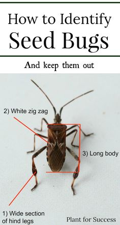 The Seed Bug is a common insect you'll find lingering around your home in fall and spring. Many people think these bugs are Stink Bugs, but they are actually different. Learn how to identify, remove, and prevent Seed Bugs as well as other home insects. #pestcontrol #diyhomeimprovement #homeexterior
