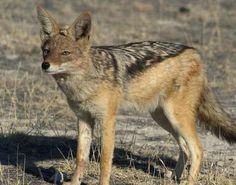 Black Backed Jackal - The jackal is a medium sized member of the dog family, originally found in Africa, Asia and southeast Europe.