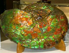 This stone is unrivaled for its beauty, intensity and diversity of color. Ammonite fossils are extinct marine mollusks, which died out in the Late Cretaceous Period, 65 million years ago. They were fossilized in a rock formation known as bearpaw shale, and preserved and transformed into the radiant multi-colored stones we call ammolite.
