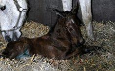 Newborn colt. Thor SR Thunder van de Zuuthoeve x Cash jum[ing horse