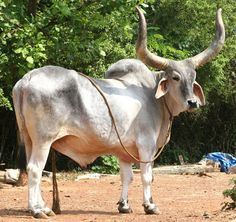 Kankrej/Guzerat bull, India