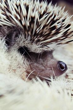 #Hedgehog zoomed