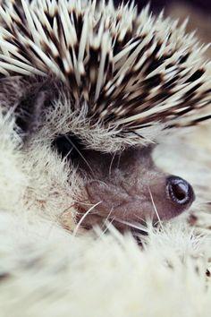 #Hedgehog zoomed