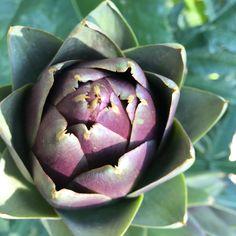 Lovely artichoke