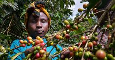 Kenya-Kahveleri