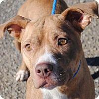 Pit Bull Terrier Mix Dog for adoption in Anniston, Alabama - Rikki