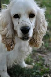 Arie is an adoptable Cocker Spaniel Dog in Memphis, TN. For more information about our hours, location, adoption fees, and adoptable pets; please go to www.sunnymeadows.org...