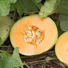 How to Grow Cantaloupe. A freshly ripened cantaloupe straight from your own garden is one of the summer's greatest pleasures. There are hundreds of varieties of cantaloupe to choose from, but the classic Hale's Best, a popular melon with. Growing Cantaloupe, Growing Melons, Growing Veggies, Planting Vegetables, Fresh Fruit, Juicy Fruit, Growing Plants, Fruit Plants, Gardens