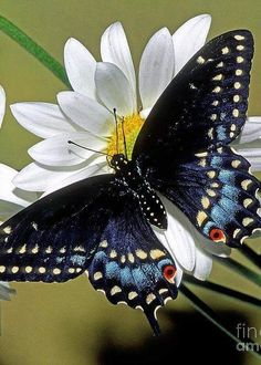 Black Swallowtail Greeting Card for Sale by Millard H. Sharp Eastern Black Swallowtail Greeting Card by Millard H. SharpEastern Black Swallowtail Greeting Card by Millard H. Papillon Butterfly, Butterfly Kisses, Butterfly Flowers, Blue Butterfly, Butterfly Wings, Buckeye Butterfly, Beautiful Creatures, Animals Beautiful, Cute Animals