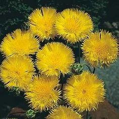 Pase Seeds - Centaurea Sweet Sultan Yellow Annual Seeds, $3.49 (http://www.paseseeds.com/centaurea-sweet-sultan-yellow-annual-seeds/)