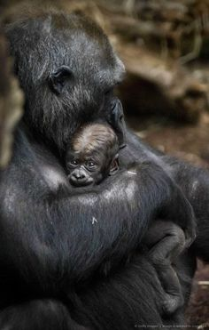 Image detail for -Gorilla mother Dian holds her baby Quemb