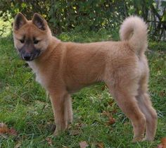 Korean jindo dog. Foxy!