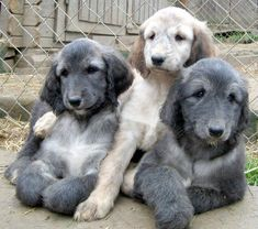 Hound Puppies, Kittens And Puppies, Pets 3, Pet Dogs, Doggies, Most Beautiful Dogs, Animals Beautiful, Afghan Hound Puppy, Dog Breath