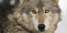 Demand the Government of Kazakhstan Prosecutes a Hunter who Brutally Killed a Wolf on Camera