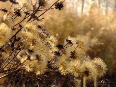 seedheads in Oudolf garden