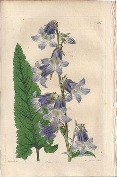 Original Hand-Coloured Copperplate Botanical Engraving, Syd Edwards
