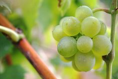 Best Natural Remedies to Fight Heartburn Wine Making Supplies, Make Your Own Wine, Take Care Of Your Body, Growing Grapes, Heartburn Relief, Wine Drinks, Beverages, Wine Tasting, Arthritis