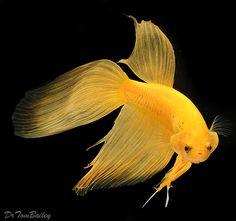 Fancy Yellow Male Betta fish at AquariumFish.net