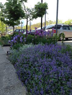 Lavender planted randomly by guerrilla gardeners in the Distillery District, Toronto