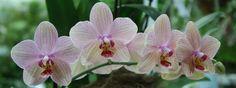 orchideen wieder zum bl hen bringen 5 tipps mit denen. Black Bedroom Furniture Sets. Home Design Ideas