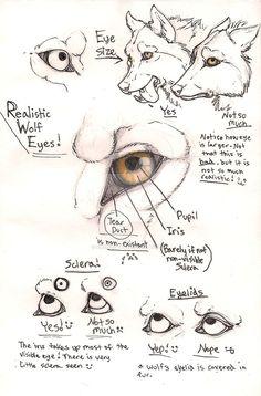 Resultado de imagem para anatomia desenho lobo