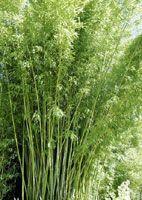 BAMBOU : CONSEILS DE PLANTATION, TAILLE, ENTRETIEN