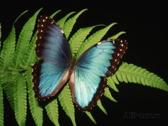 Blue Common Morpho Butterfly on Fern Frond Fotografie-Druck von Kevin Schafer bei AllPosters.de