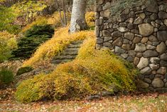 Golden honey colours surround the steps leading to the Lower Garden.Stephanandra