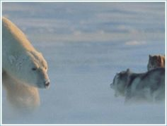 Polar bear goes to camp where dogs are kept for sledging