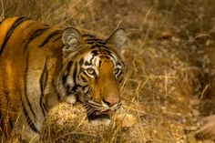 Pench National Park Wildlife Tours >>>#Wildlife #PenchNationalPark #Madhya Pradesh