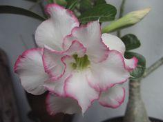 """Adenium hybrid """"Beauty Queen"""". Double petal"""