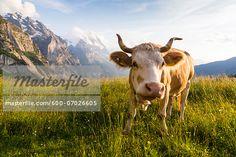 Cow wearing Bell in front of Eiger Mountain, Bernese Alps, Grindelwald, Canton of Bern, Switzerland  – Bild © F. Lukasseck / Masterfile.com: Kreative Stock-Fotografie, Vektoren und Illustrationen für Internet-, Print- und Mobile-Nutzung