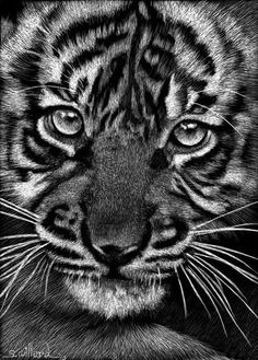scratchboard art | Baby Tiger II - by Sandra Willard from Scratchboard Art