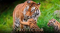 #Protector #Eyes #Tigers #TigerTrails #RoarInSundarbans #Beauty