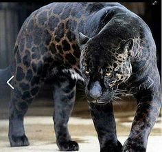 In Latin America, a Black Panther is just a melanistic jaguar; in Asia and Africa it's a black leopard, and in North America it may be… Unusual Animals, Majestic Animals, Rare Animals, Cute Baby Animals, Wild Animals, Beautiful Cats, Animals Beautiful, Melanistic Animals, Melanism