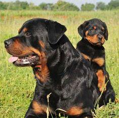 Rottweiler ~ black & mohagany <3