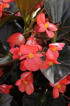 Begonia 'Whopper Red with Bronze Leaf'