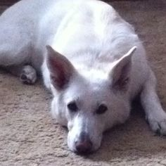Dixie is part white German Shepard.....change the ears of this one and bang u have Dixie