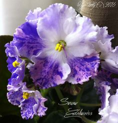 Snow Edelweiss - Russian standard African Violet with large purple, pink, and white fantasty ruffled flowers. I got this one from the DAVS Convetnion and it's one of my favorites.
