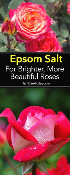 Using epsom salt for roses has long been an excellent fertilizer supplement for roses lack of magnesium during blooming. [LEARN MORE] Garden How To Use Epsom Salt For Brighter, More Beautiful Roses Outdoor Plants, Garden Plants, Garden Roses, House Plants, Outdoor Gardens, Epsom Salt For Roses, Epsom Salt For Plants, Epsom Salt Uses, Organic Gardening