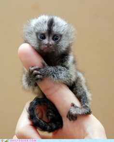 Baby monkey on a finger ♥