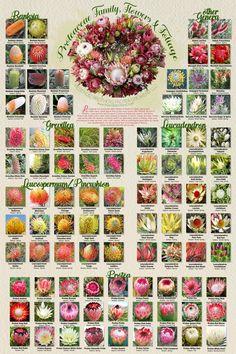 Proteaceae Family, Flowers & Foliage Poster Print – The Protea Store Protea Plant, Protea Flower, Australian Native Garden, Australian Native Flowers, Protea Wedding, Wedding Flowers, Floral Wedding, Blossoms Florist, Flower Chart