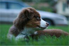 All Australian Shepherds, All the Time Aussie Dogs, Australian Shepherds, Jesse James, Aussies, Doggies, Corgi, Animals, Companion Dog, Aussie Shepherd
