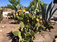 Cactus en Hacienda Santa Cristina, Ovalle.