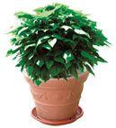Eliminare zanzare da casa - L'originale pianta anti zanzare - rimedio naturale contro le zanzare -