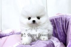 Sugar ~ Fabulous Teacup White Pomeranian Girl sold to Montserrat Oliver in Mexico!